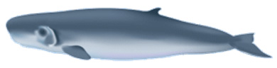 illustration of Pygmy whale